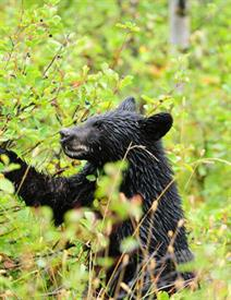 "-,BLACK BEAR CUB SEARCH FOR BERRIES  8X10 BLACK MAT FITS AN 11X14"" FRAME"