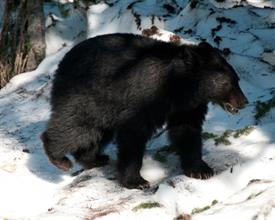 -BEAR AT MT.RANIER16X2