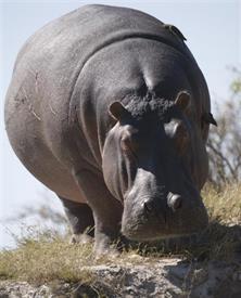 """-AFRICAN HIPPO 8X10 BLACK MAT FITS AN 11X14"""" FRAME"""