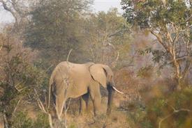 -ELEPHANT AT KRUGERW/F