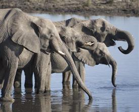 "-,ELEPHANTS AT POND 8X10 WHITE MAT FITS AN 11X14"" FRAME"