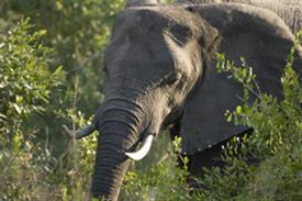 "-,ELEPHANT HEAD 8X10 BLACK MAT FITS INTO AN 11X14"" FRAME"