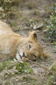 -CAT LYING AFRICA13X19