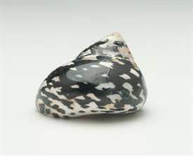 "-SMALL MAGPIE SHELL, POLISHED. 1.5""-2"""